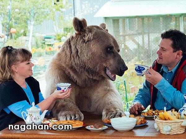 یک زوج روسی 23 سال پیش سرپرستی یک خرس را قبول کردند و هم اکنون نیز در کنار هم زندگی می کنند