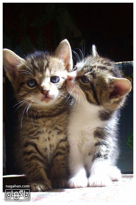 عکس گربه های بامزه در حال بوسیدن هم