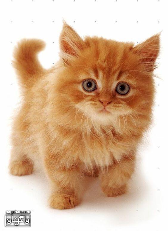 عکس بچه گربه رنگ گارفیلد