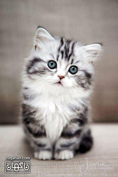 عکس گربه طوسی ملوس