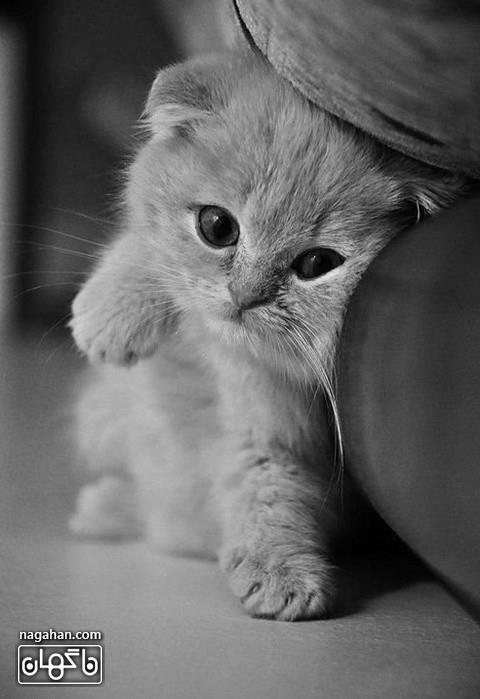 عکس بچه گربه زیبا و ملوس طوسی