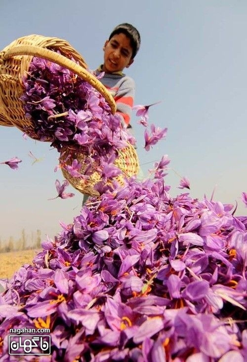 زعفران اصل مرغوب کاشت زعفران