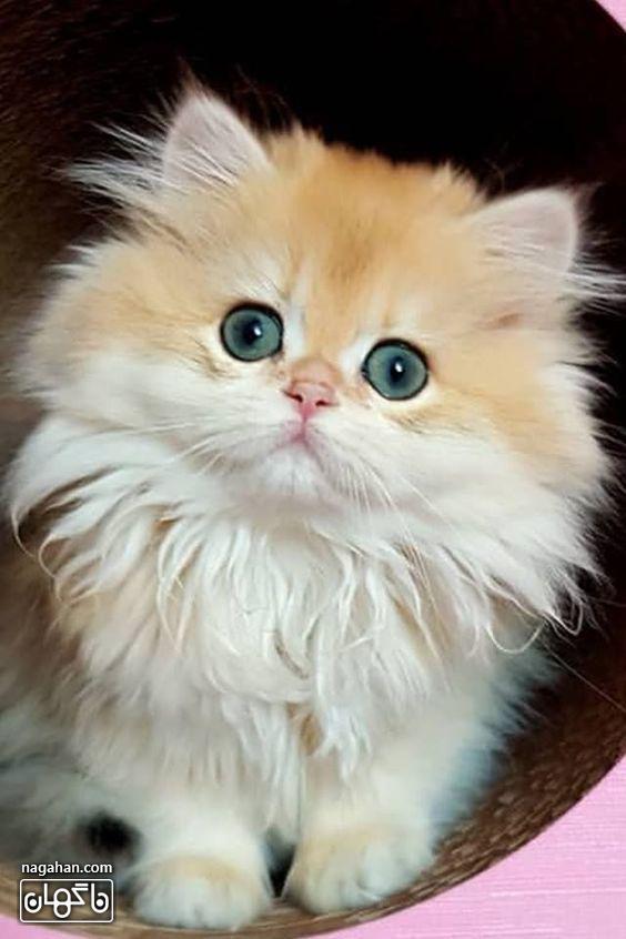 عکس گربه نارنجی سفید با چشم آبی