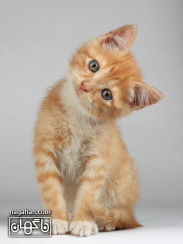 عکس گربه نارنجی بامزه