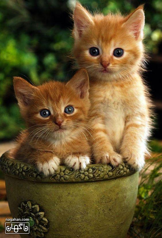 عکس بچه گربه های نارنجی