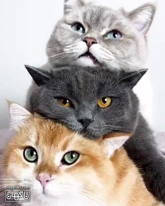 عکس خانوادگیگربه های شیطون