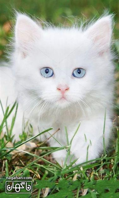 عکس گربه سفید در طبیعت