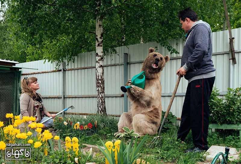 استیفان در آبیاری گیاهان کمک میکند - عکس خرس اهلی