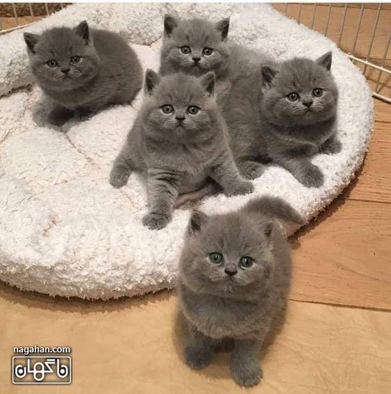 عکس گربه های خاکستری با مزه- خانواده گربه های طوسی