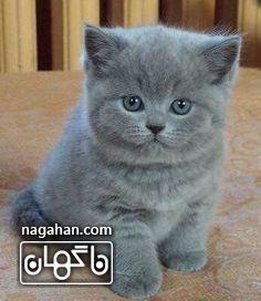 عکس گربه طوسی تپل