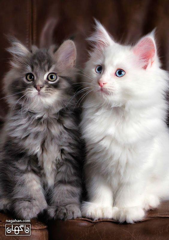 عکس گربه های سفید و طوسی