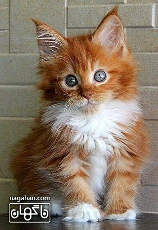 عکس گربه پشمالو نارنجی کرم