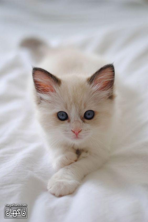 عکس گربه سفید روی تخت